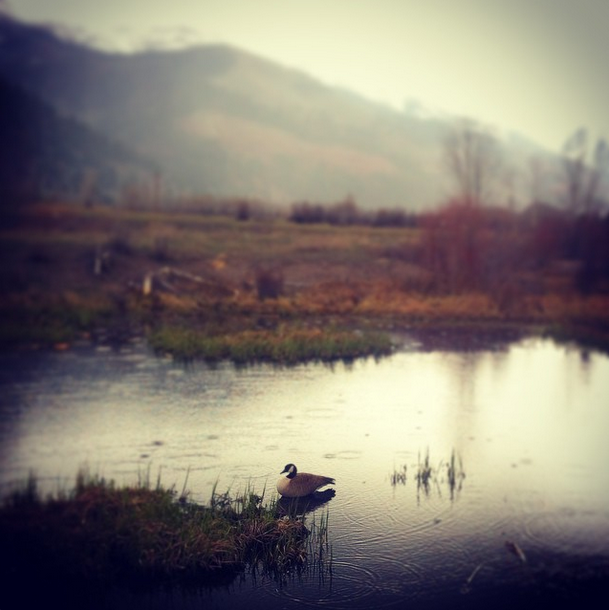 Goose on a pond in a rainstorm
